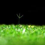Chwasty wrażliwe w trawnikach